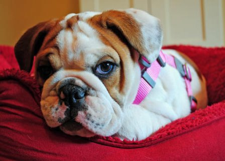 Two Gorgeous Male and Female English Bulldog Puppies Available.