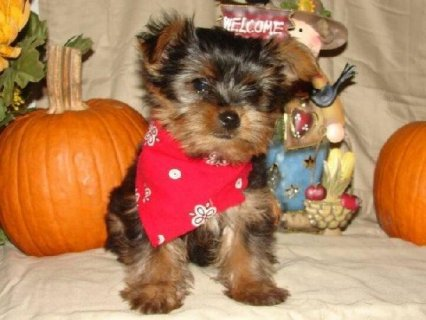 3 Micro pocket teacup Yorkie puppies5