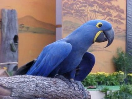 Affectionate Hyacinth Macaw Parrot1