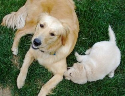 lovely male and female golden retriever puppies