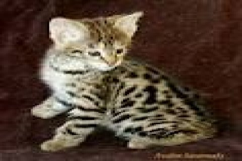Charming savannah F2 kittens for a good home