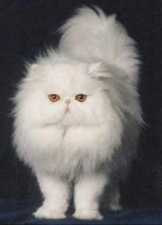 good looking persian kitten