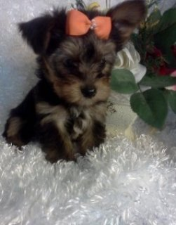 Mindy Mindy Yorkshire Terrier Puppies For Sale
