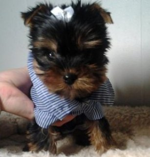 Adorable Yorkie puppies for sale.12