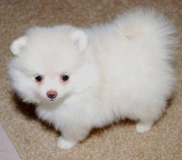 Sweet Pomeranian Puppies