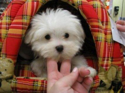 Teacup Maltese Pups
