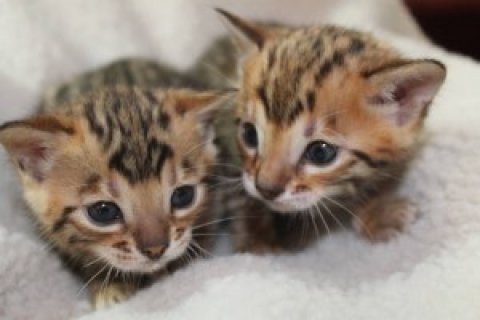 Adorable Bengal kittens3