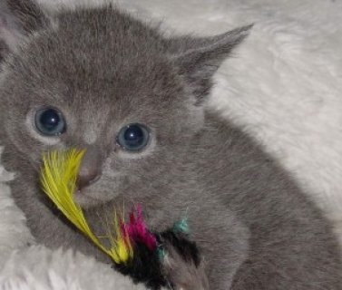 صور Russian Blue Kitten 1