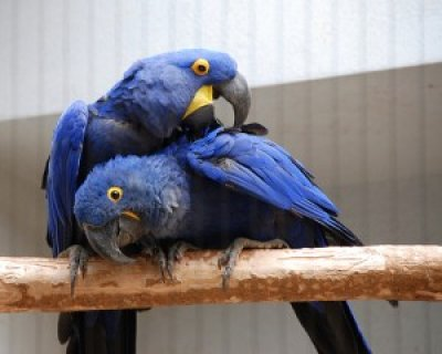 2Talented and well tamed hyacinth Macaws for adoption2