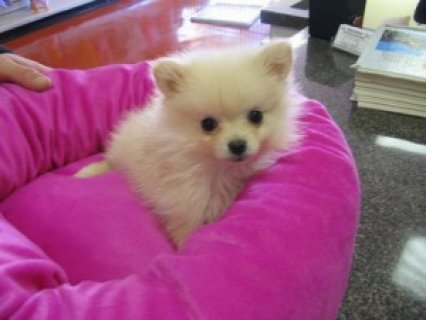 Cute Pomeranian Puppies AvailableE3