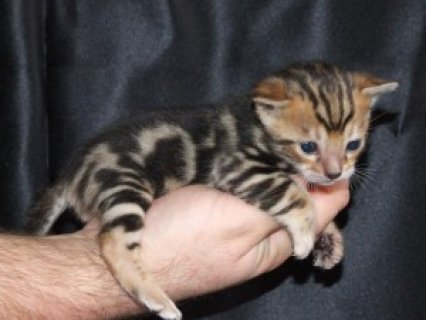 male and female Bengal kitten for adoption.e33