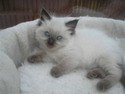 Ragdoll Kittens Ready for Christmas331