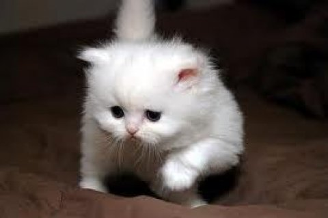 صور Adorable CFA Persian Kittensr5 1