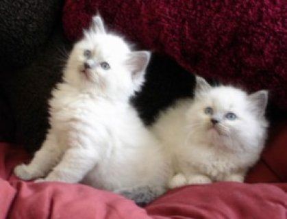 Pedigree Ragdoll Kittens3