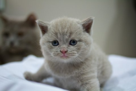 British Short-haired Kittens for sale