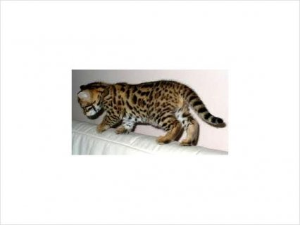 Adorable bengal kittens for rehoming3