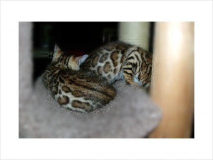Quality BENGAL KITTENS AVAILABLE 2