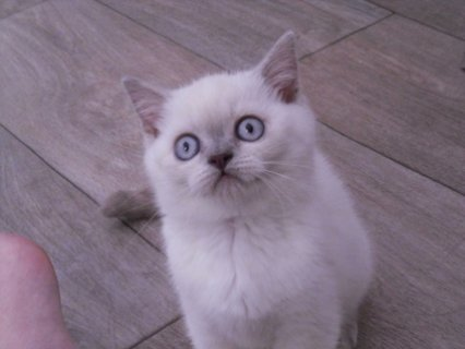 British Shorthair kittens For Adoption