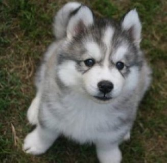 Stunning Blue Eyes Siberian Husky Puppies