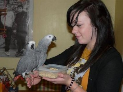 صور African Grey Parrots Available (davillagaby@gmail.com) 1
