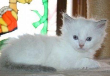 Playful Persian Kittens For New Homes  Ginger white persian kitt