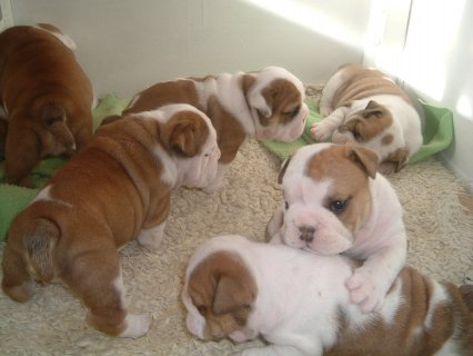 9 english bulldog puppies ready for adoption