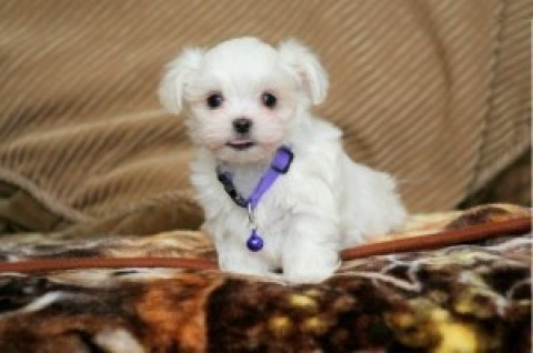 Toy-sized Maltese Puppies for Adoption