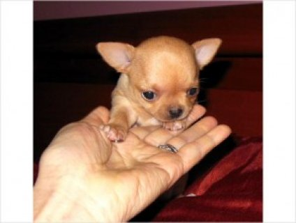 Adorable Tiny Chihuahua Puppies