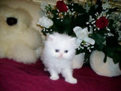 صور Persian Kittens & Cat: CFA Reg, Pedigr, Tampa Bay,   1