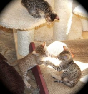 Beautiful Savannah Kittens Available  2