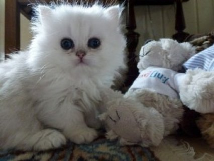 Cute Persian Kittens Awqvailable 1w