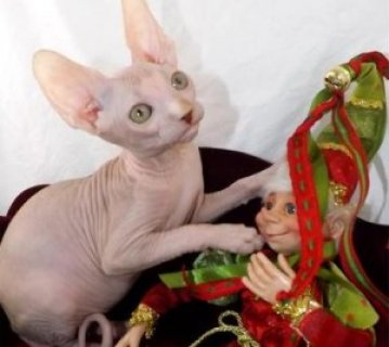 صور Purrbalds Sphynx Cats  W 1