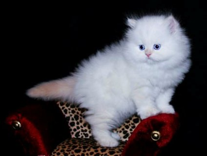 Teacup Persian Kittens For Sale.  W