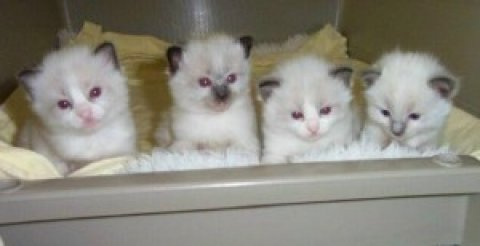 صور Ragdoll kittens New Years Addition to your family.. 3 1
