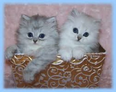 Persian kittens for sale All Nowda