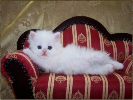 Woow Cute Persian Kittens for Sale WOW
