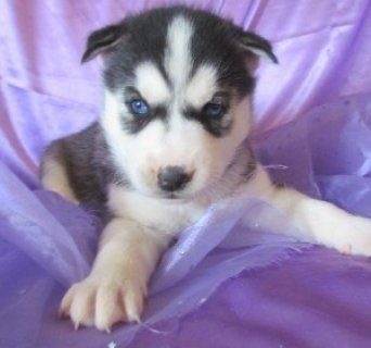 Siberian Husky Puppies Now Ready