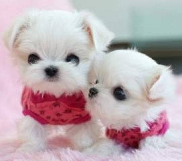 Quality Maltese Puppies for Free