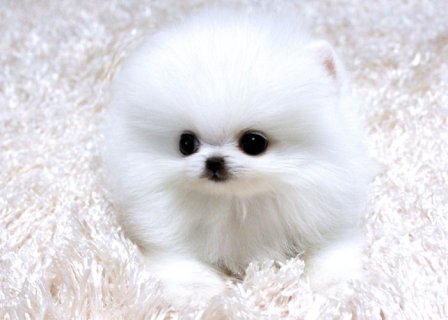 صور Four teacup Gorgeous Pomeranian Puppies for adoption 1