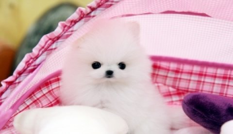 Adorable Pomeranian puppies available for adoption