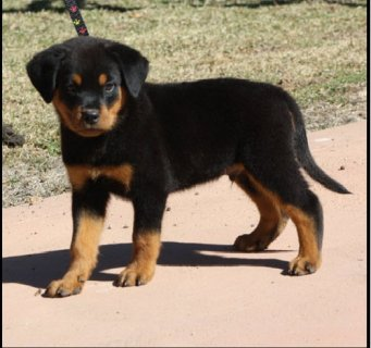 صور Rottweiler Puppies Male and Female available 1
