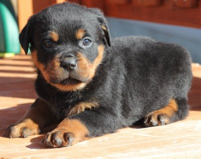 2 Rottweiler Puppies for adoption