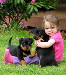 Gorgeous teacup rottweiler puppies for free adoption