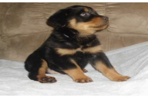 Pure Bred Rottweiler Puppies with papers