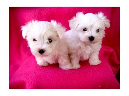 Nice Male and Female Maltese
