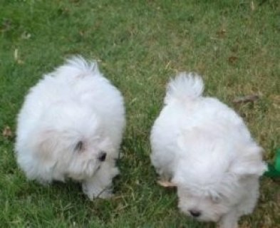 2 Teacup Maltese Puppies For New Homes