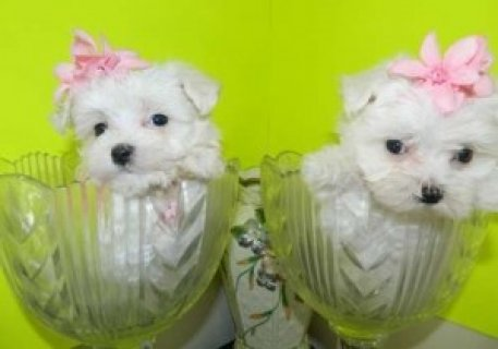 3 Maltese Pups for Sale2