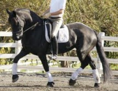 Cute Black male and female Well trained Horse for sale ,
