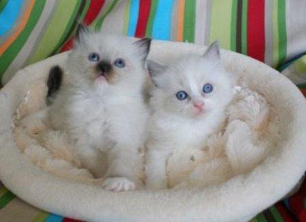 Affectionate Ragdoll kittens for Re-homing