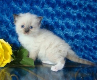 Registered Ragdoll Kitten for Sale2